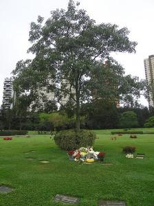 L'albero che sorge accanto a Senna nel cimitero del Morumbi